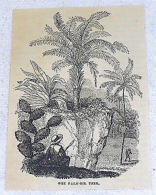 small 1882 magazine engraving ~ PALM-OIL TREE