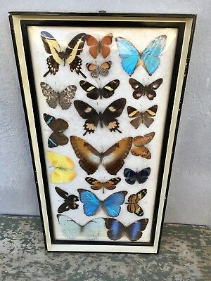 AWESOME Frame Set Wall Hanging 20 BUTTERFLY Taxidermy Display 21x11 Framed WOW!