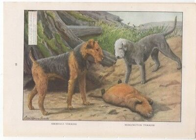 AIREDALE AND BEDLINGTON TERRIERS: Dog Print by Fuertes 1927