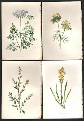 Lot of 4 Original c1897 Colored Wildflower Prints By Hulme 4