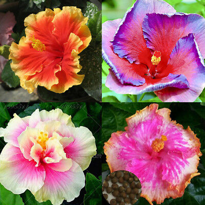 100Pcs Exotic Coral Flower Hibiscus Seeds Gardening Giant Home Garden Plant A