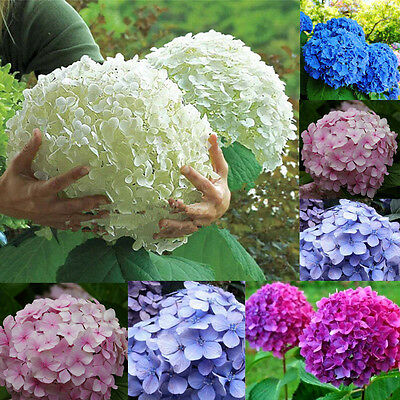 50pcs Rare Hydrangea Flowers Seeds Garden Perennial Seed Yard Home Bonsai Decor