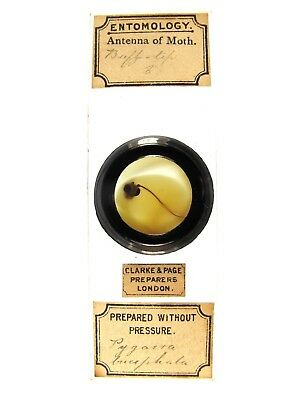 Antique Microscope Slide by Clarke & Page. Antenna of Buff-Tip Moth.