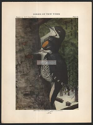 Arctic Three Toed Woodpecker Bird Print - c1914 by Louis Agassiz Fuertes