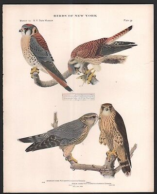 Sparrow Hawk and Pigeon Hawk Raptor Bird Print c1914 by L. A. Fuertes