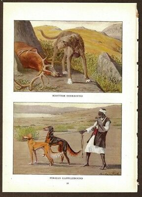 Scottish Deerhound Dog Print by Fuertes 1919