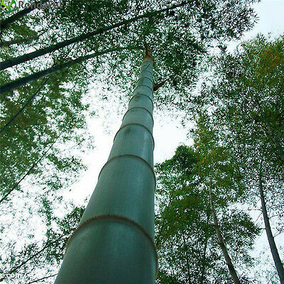 1000 Moso bamboo Seeds Phyllostachys Pubescens Giant plant Very Rare