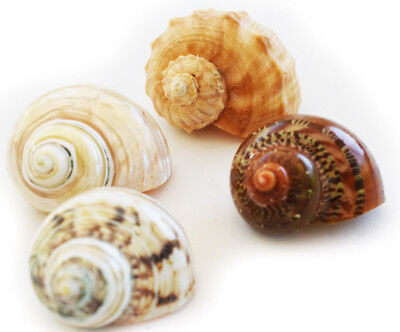 """4 Large Hermit Crab Changing Shell Set - Large 3/4-1 1/2"""" opening-Select Shells"""