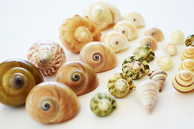 """25 Shell Hermit Crab Changing Set 1/2-1 1/2"""" Opening Sizes - Small to Medium"""