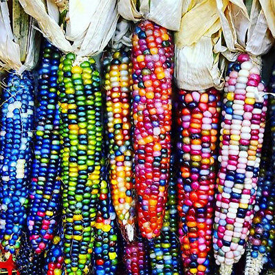 40Pcs/1 Pack Rainbow Corn Seeds Delicious Garden Coarse Food Grain Planting A
