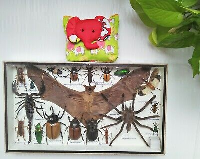 Real Rare Insect Bat Spider Scorpion Beetle Bug Display Taxidermy Frame Cicada
