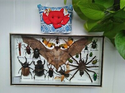 Real Rare Mounted Bat Insects Display Taxidermy Beetles Scorpion In Wood Box Bug