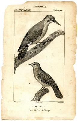 1816 Turpin Green Woodpecker Wryneck Copper Engraving Antique Zoology Print