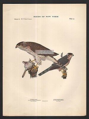 Coopers Hawk And Sharp Shinned Hawk Bird Print c1914 by Louis Agassiz Fuertes