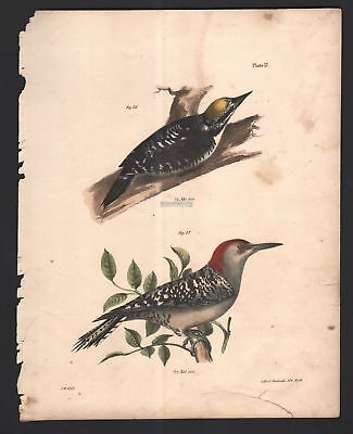 Woodpeckers - Arctic and Red Bellied Original 1845 DeKay H/C  Bird Print