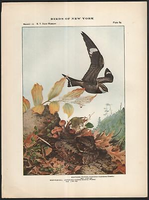 Night Hawk Raptor And Whip-Poor-Will Bird Print c1914 by L. A. Fuertes