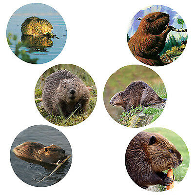 Beaver Magnets:   6 Bucky Beavers  for your Collection--A Great Gift