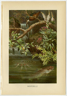 Antique Print-BROWN TROUT-KINGFISHER-Brehm-1890