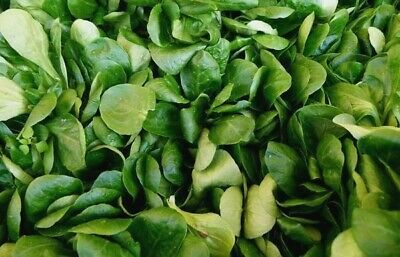 CORN SALAD / MACHE 150+ seeds LAMBS LETTUCE vegetable garden WINTER SALAD green