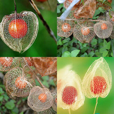50Pcs Physalis Peruviana Cape Husk Tomato Winter Cherry Plant Seeds HOT Pleasing