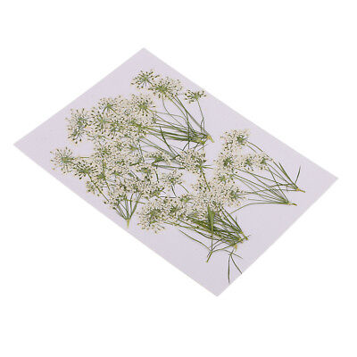 10x Pressed Real Dried Flowers Lace Flower Scrapbooking Embellishment White