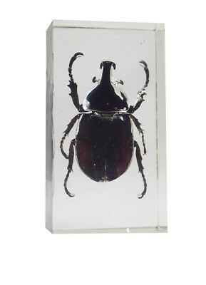 Real Bugs Siamese Rhinoceros Beetle in Resin