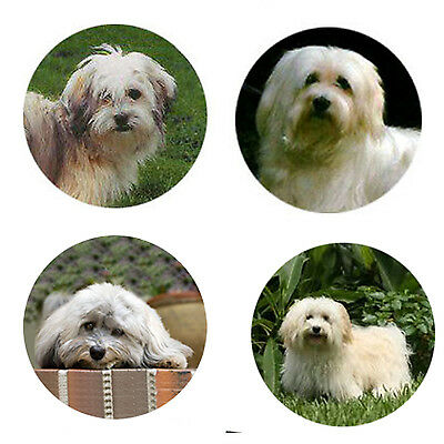 Havanese Magnets :4 Way-Cool Havanese for your Fridge or Collection-A Great Gift