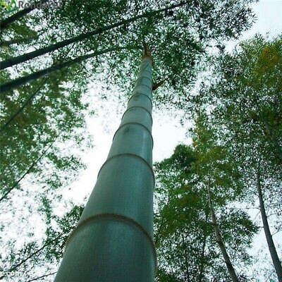 100 Graines Phyllostachys pubescens Moso Bambou,bambou géant,moso bamboo Fresh
