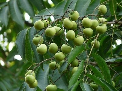 RARE 8 Sapindus Mukorossi Soap Nut Soapberry Seeds Fresh
