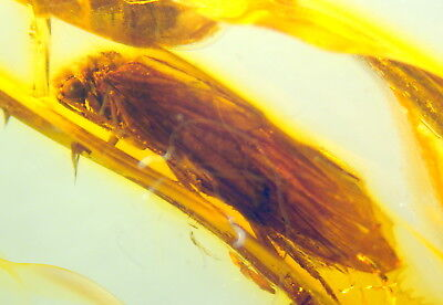 Huge Fossil Insect-Trichoptera-  In Baltic Amber 45-55 Millions Years Old(6125 )