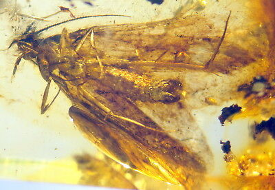 Huge Fossil Insect-Butterfly-  In Baltic Amber 45-55 Millions Years Old(6246 )