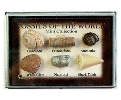 Mini Collection of Fossils of The World -Shark Tooth Ammonite Gastropod Jurassic