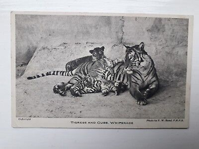 Vintage Whipsnade Park Zoo Postcard of Tigress and cubs Zoological