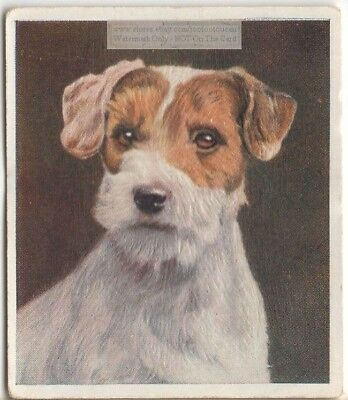 Sealyham Terrier Puppy Dog Pet Animal Canine c80 Y/O Trade Ad Card