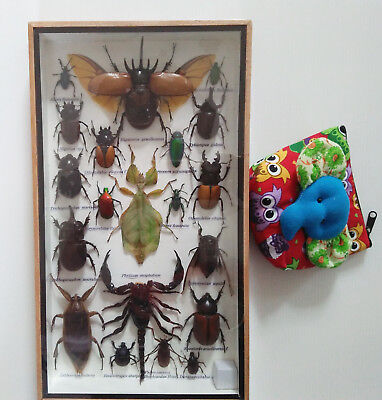 20 Real Beetles Specimen Mounted Bug Insect Taxidermy Entomology in Framed Box
