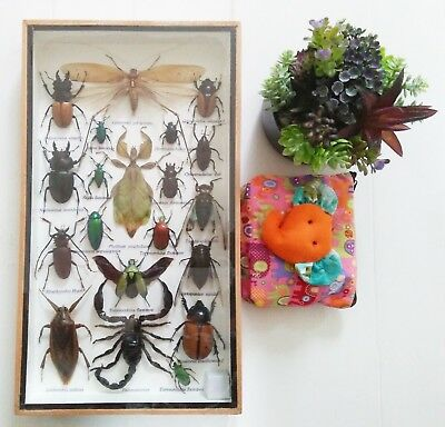 20 Rare Real Insect Bugs Beetle Cicada Scorpion Taxidermy Display In Framed Box