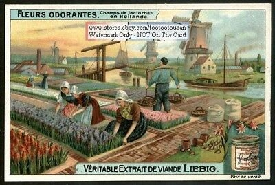 Dutch Hyacynth Flower Harvest In Holland Perfumed Blooms c1914 Trade Ad Card