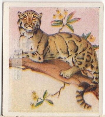 Clouded Leopard  Large Cat Wild Feline c80 Y/O Trade Ad Card