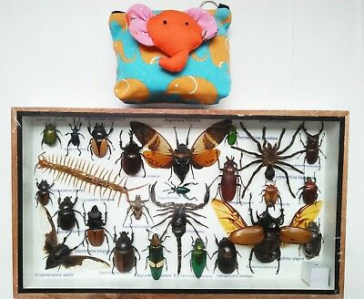 Real Beetles Big Specimen Mounted Spider Bug Insect Taxidermy Entomology Box