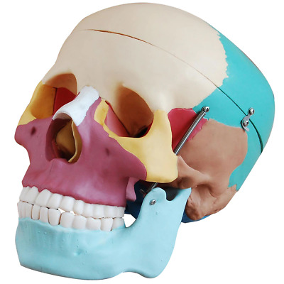 66fit™ Life Size Human Skull Anatomical Model - Painted Bones