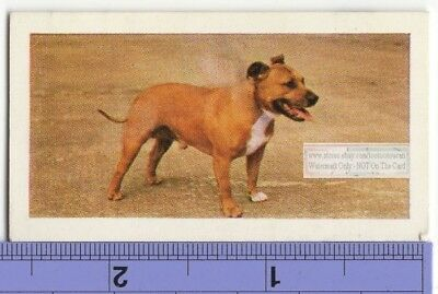 Staffordshire Bull Terrier Dog Vintage Ad Trade Card 2nd