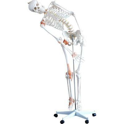 66fit™ Human Flexible Skeleton with Ligaments- 180cm Medical Training Teaching