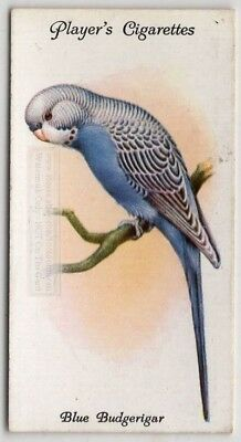 Parakeet Blue Budgerigar Bird Australia Pet c85 Y/O Trade Ad Card
