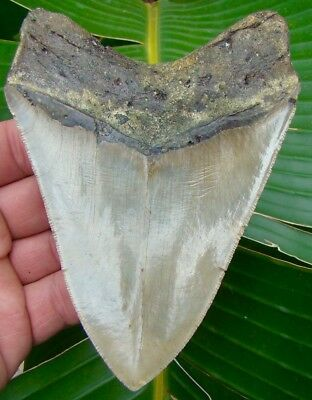 Megalodon Shark Tooth  5 & 1/4 in. * SUPER SERRATED *  REAL Fossil Sharks Teeth