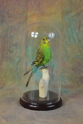 Taxidermy green parakeet stuff bird mounted in  glass dome free shipping W#