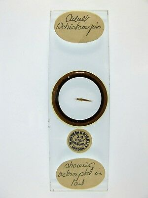 Antique Microscope Slide by W.Watson. Adult Schistomysis. Octoapto in tail.