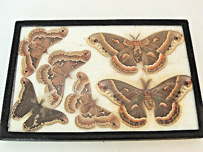 Collection of (6) ATLAS Moths Butterflies Insect Display, Taxidermy, Framed