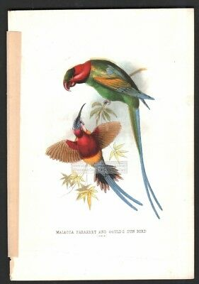 Malacca Parakeet and Goulds Sunbird Original c1870s Color Print