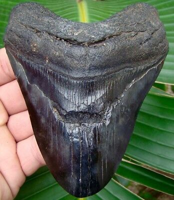 Megalodon Shark Tooth - 4 & 13/16 in.  REAL Fossil Sharks Teeth