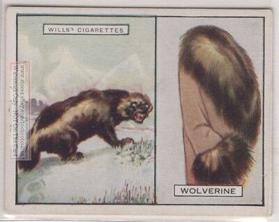 Wolverine Its Fur Pelt Trapping Hunting Weasel c90 Y/O Ad Trade Card